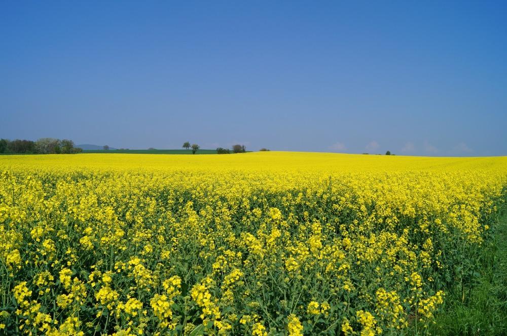oilseed-rape-109889_1920